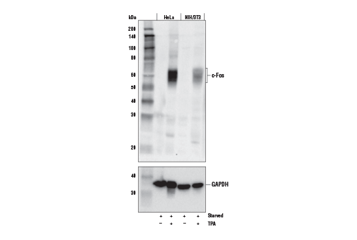 Western Blotting Image 1: c-Fos (E7L5L) Mouse mAb