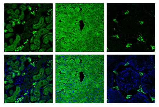 Immunofluorescence Image 2: ALDH1L1 (E7D7G) Rabbit mAb (IF Preferred)