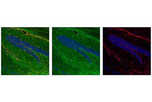 Immunofluorescence Image 1: ALDH1L1 (E7D7G) Rabbit mAb (IF Preferred)