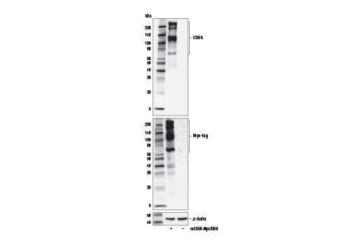 Image 61: Mouse Microglia Marker IF Antibody Sampler Kit