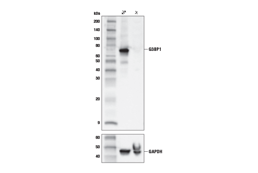 Western Blotting Image 2: G3BP1 (E9G1M) XP® Rabbit mAb