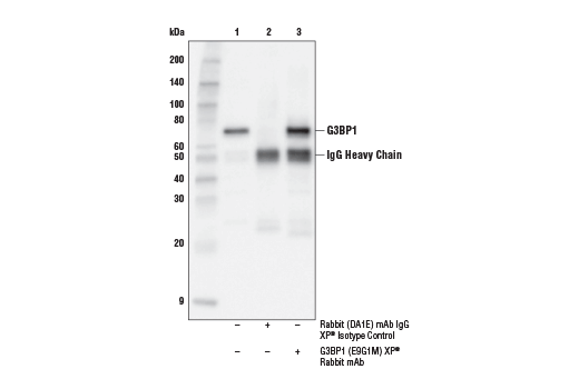 Immunoprecipitation Image 1: G3BP1 (E9G1M) XP® Rabbit mAb
