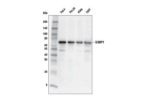 Western Blotting Image 1: G3BP1 (E9G1M) XP® Rabbit mAb