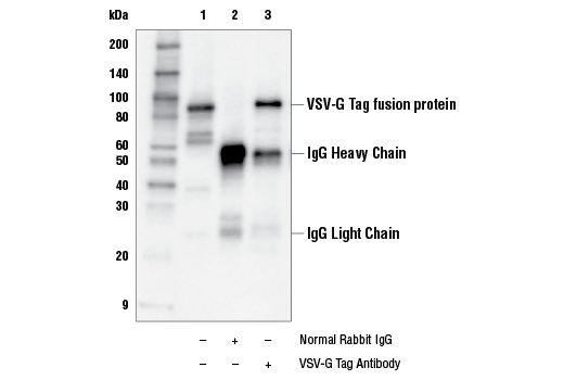 Immunoprecipitation Image 1: VSV-G Tag Antibody