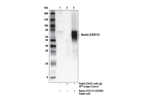 Immunoprecipitation Image 1: Nectin-2/CD112 (E4H9V) Rabbit mAb