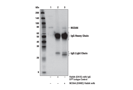 Immunoprecipitation Image 1: NCOA4 (E8H8Z) Rabbit mAb