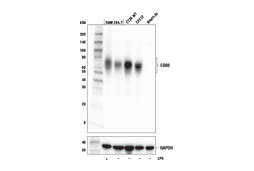 Western Blotting Image 1: CD80 (E6J6N) Rabbit mAb