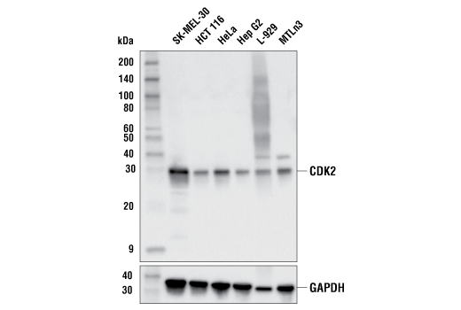 Western Blotting Image 1: CDK2 (E8J9T) XP® Rabbit mAb