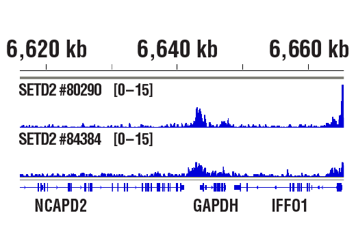 Chromatin Immunoprecipitation Image 1: SETD2 (E4W8Q) Rabbit mAb