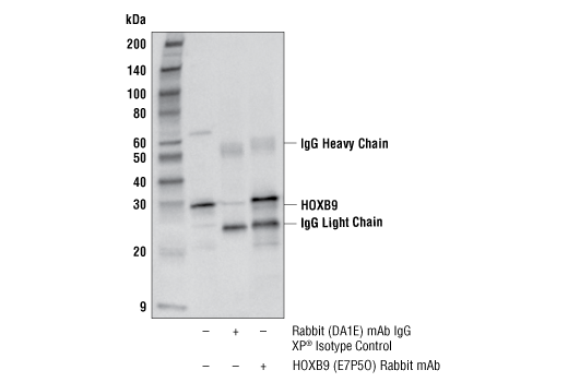 Immunoprecipitation Image 1: HOXB9 (E7P5O) Rabbit mAb