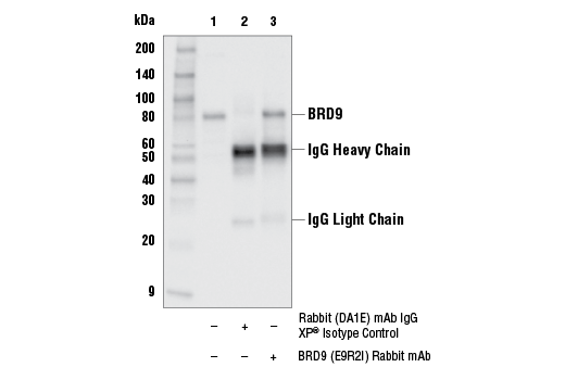 Immunoprecipitation Image 1: BRD9 (E9R2I) Rabbit mAb