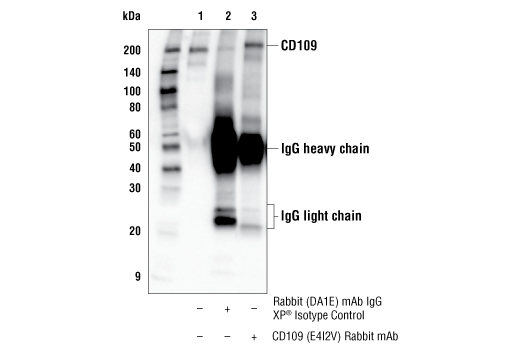 Immunoprecipitation Image 1: CD109 (E4I2V) Rabbit mAb