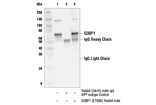Immunoprecipitation Image 1: G3BP1 (E7G9E) Rabbit mAb