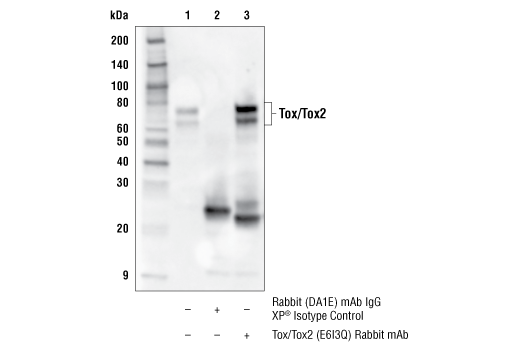 Immunoprecipitation Image 1: Tox/Tox2 (E6I3Q) Rabbit mAb