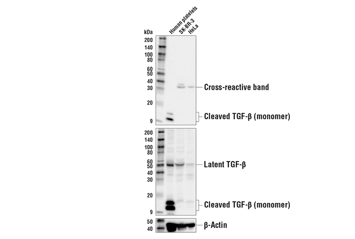 Western Blotting Image 1: Cleaved TGF-β1 (Ala279)/ TGF-β2 (Ala303)/ TGF-β3 (Ala301) Antibody