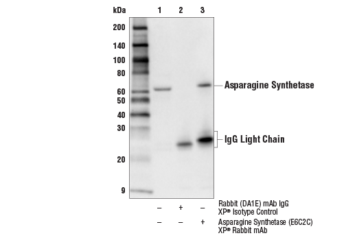Immunoprecipitation Image 1: Asparagine Synthetase (E6C2C) XP® Rabbit mAb