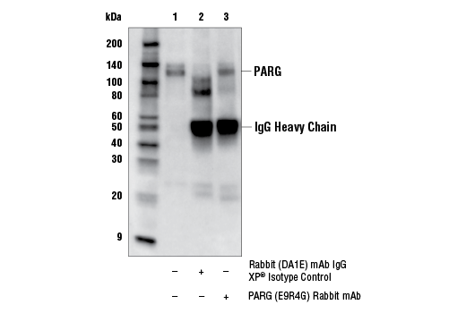 Immunoprecipitation Image 1: PARG (E9R4G) Rabbit mAb