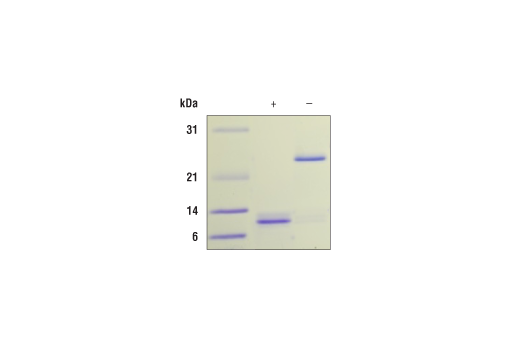 Image 2: Human/Mouse/Rat Activin A Recombinant Protein