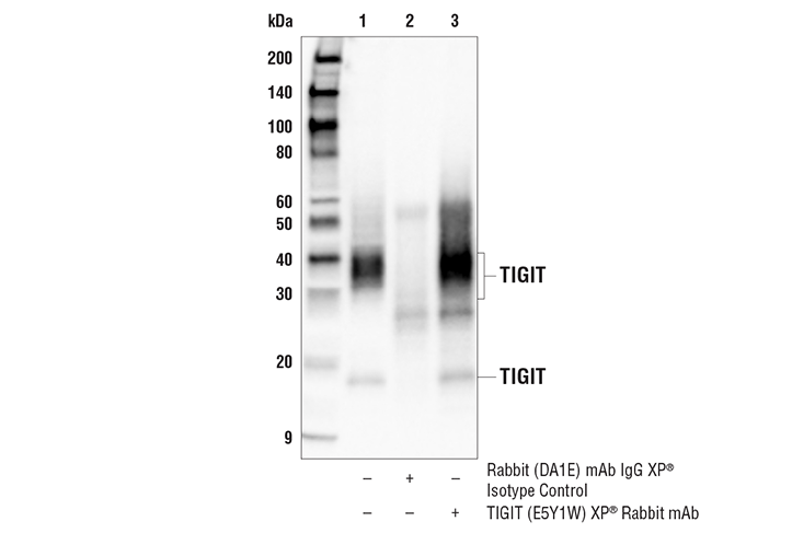 Immunoprecipitation Image 1: TIGIT (E5Y1W) XP® Rabbit mAb