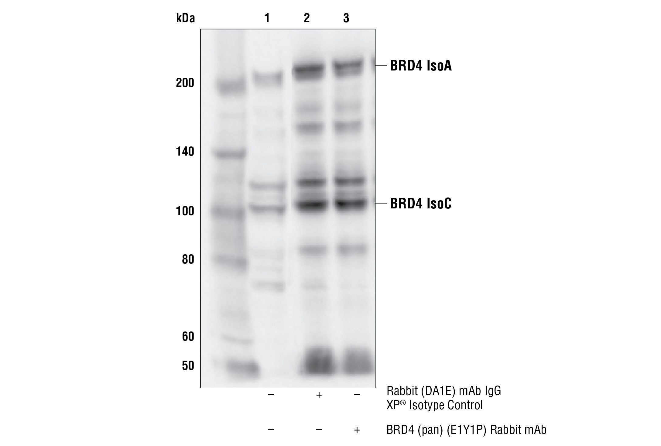 Immunoprecipitation Image 1: BRD4 (pan) (E1Y1P) Rabbit mAb