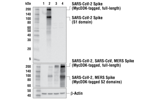 Western Blotting Image 2: SARS-CoV-2 Spike Protein (S1-NTD) (E7M5X) Mouse mAb