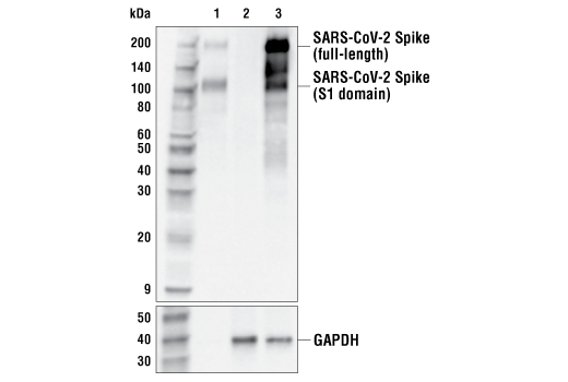 Western Blotting Image 1: SARS-CoV-2 Spike Protein (S1-NTD) (E7M5X) Mouse mAb