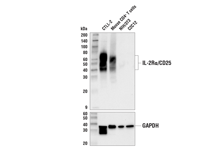 Western Blotting Image 1: IL-2Rα/CD25 (E9W2J) XP® Rabbit mAb