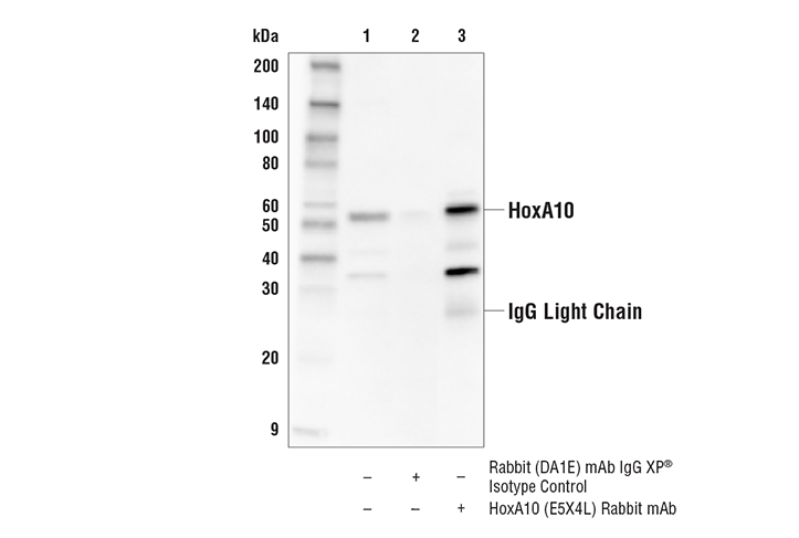 Immunoprecipitation Image 1: HoxA10 (E5X4L) Rabbit mAb