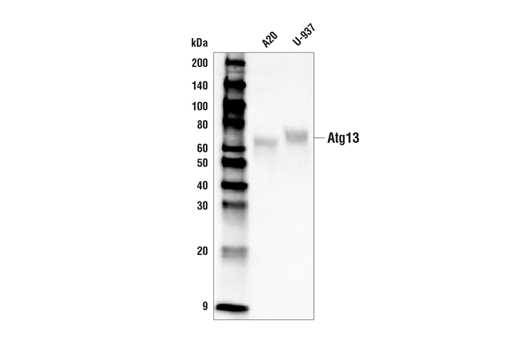 Western Blotting Image 1: Atg13 (D4P1K) Rabbit mAb (Biotinylated)