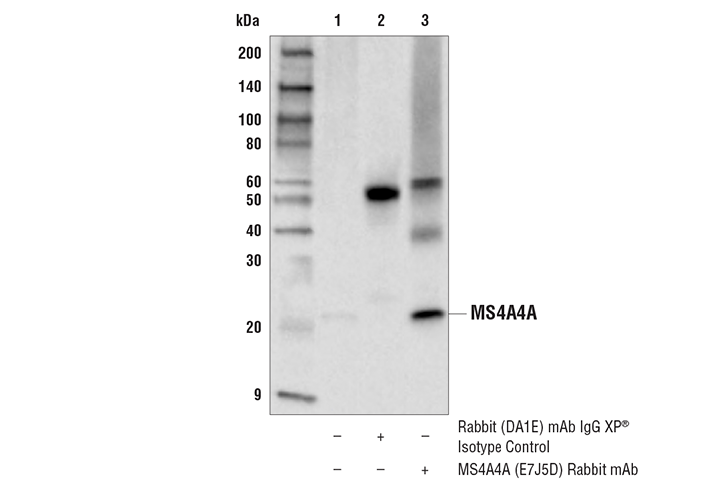 Immunoprecipitation Image 1: MS4A4A (E7J5D) Rabbit mAb