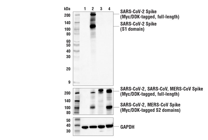 Western Blotting Image 2: SARS-CoV-2 Spike Protein (RBD) (E2T6M) Mouse mAb