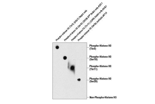 Monoclonal Antibody - Phospho-Histone H3 (Thr3) (D5G1I) Rabbit mAb, UniProt ID P68431, Entrez ID 8350 #13576, Histone H3