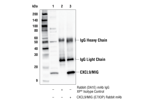 Immunoprecipitation Image 1: CXCL9/MIG (E7X3P) Rabbit mAb