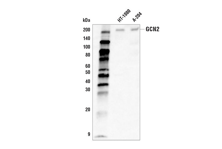 Western Blotting Image 1: GCN2 (E7G7E) Rabbit mAb (Biotinylated)