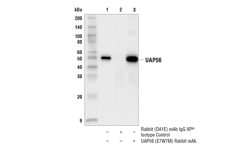 Immunoprecipitation Image 1: UAP56 (E7W7M) Rabbit mAb