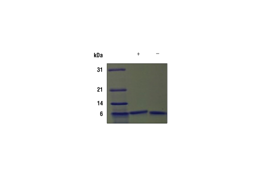 Image 2: Mouse IGF-I Recombinant Protein