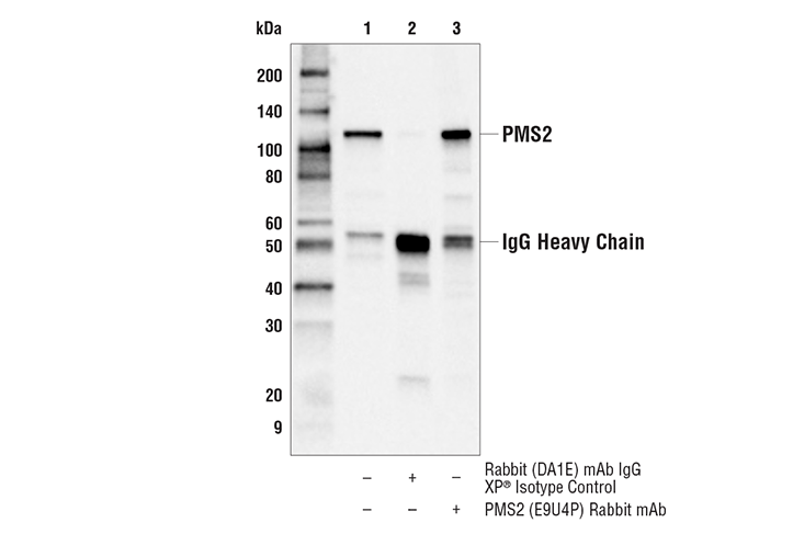 Immunoprecipitation Image 1: PMS2 (E9U4P) Rabbit mAb