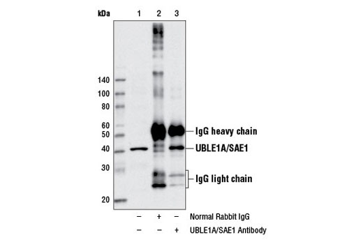 Immunoprecipitation of UBLE1A/SAE1 from MCF7 cell extracts using Normal Rabbit IgG #2729 (lane 2) or UBLE1A/SAE1 Antibody (lane 3). Lane 1 is 10% input. Western blot analysis was performed using UBLE1A/SAE1 Antibody.