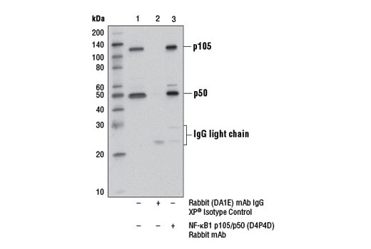 Immunoprecipitation of NF-κB1 p105/p50 from Raji cell extracts using Rabbit (DA1E) mAb IgG XP<sup>®</sup> Isotype Control #3900 (lane 2) or NF-κB1 (D4P4D) Rabbit mAb (lane 3). Lane 1 is 10% input. Western blot was performed using NF-κB1 p105/p50 (D4P4D) Rabbit mAb. Mouse Anti-rabbit IgG (Light-Chain Specific) (L57A3) mAb #3677 was used as a secondary antibody.
