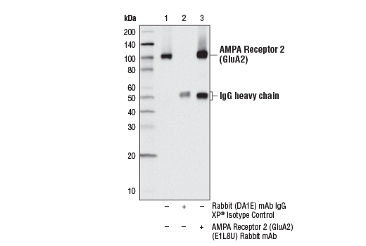 Immunoprecipitation of AMPA Receptor 2 (GluA2) from rat brain extracts, using Rabbit (DA1E) mAb IgG XP® Isotype Control #3900 (lane 2) or AMPA Receptor 2 (GluA2) (E1L8U) Rabbit mAb (lane 3). Lane 1 is 10% input. Western blot analysis was performed using AMPA Receptor 2 (GluA2) (E1L8U) Rabbit mAb.