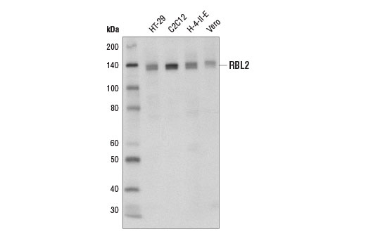 Western blot analysis of extracts from various cell lines using RBL2 (D9T7M) Rabbit mAb.