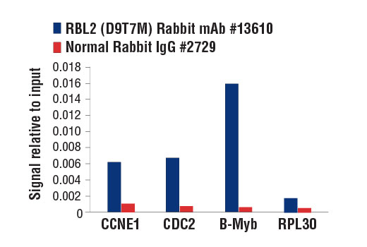 Chromatin immunoprecipitations were performed with cross-linked chromatin from 3T3 cells and either RBL2 (D9T7M) Rabbit mAb or Normal Rabbit IgG #2729, using SimpleChIP<sup>®</sup> Enzymatic Chromatin IP Kit (Magnetic Beads) #9003. The enriched DNA was quantified by real-time PCR using mouse CCNE1 promoter primers, mouse CDC2 promoter primers, SimpleChIP<sup>®</sup> Mouse B-Myb Intron 2 Primers #13707, and SimpleChIP<sup>®</sup> Mouse RPL30 Intron 2 Primers #7015. The amount of immunoprecipitated DNA in each sample is represented as signal relative to the total amount of input chromatin, which is equivalent to one.