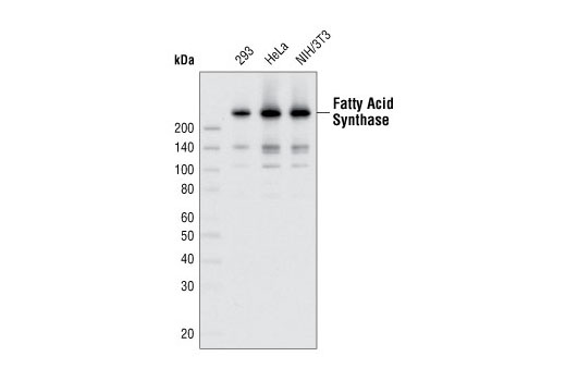 Western blot analysis of extracts from various cell types using Fatty Acid Synthase (C20G5) Rabbit mAb.