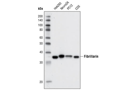 Monoclonal Antibody Western Blotting Rrna Methylation - count 5