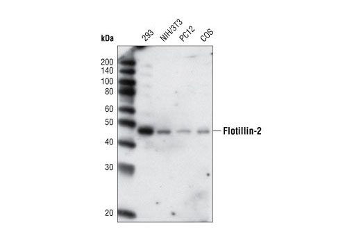 Western blot analysis of extracts from various cell types using Flotillin-2 (L294) Antibody.