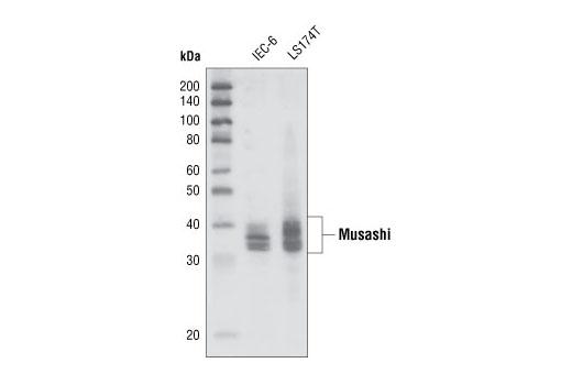 Human musashi-1