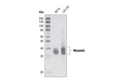 Polyclonal Antibody - Musashi Antibody - Western Blotting, UniProt ID O43347, Entrez ID 4440 #2154, Musashi