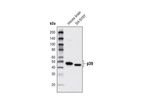 Western blot analysis of extracts from mouse brain and SH-SY5Y cells using p39 Antibody.