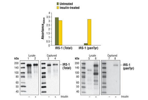 Figure 1. Treatment of CHO (IR/IRS-1) cells with insulin stimulates tyrosine phosphorylation of IRS-1, detected by the PathScan<sup>®</sup> Phospho-IRS-1 (panTyr) Sandwich ELISA Kit #7133, but does not affect the level of total IRS-1 detected by PathScan<sup>®</sup> Total IRS-1 Sandwich ELISA Kit #7328. CHO (IR/IRS-1) cells (80-90% confluent) were starved overnight and treated with 100 nM insulin for 7 minutes at 37<sup>o</sup>C. The absorbance readings at 450 nm are shown in the top figure. Kit specificity is demonstrated in the bottom figure by Western analysis of the ELISA microwell captured protein. Lysates were prepared from CHO (IR/IRS-1) cells and incubated in microwells coated with the IRS-1 capture antibody. The wells were washed, and the captured protein was solubilized in SDS gel loading buffer. Western analysis of CHO (IR/IRS-1) cell starting lysate (lanes 1, 2, 5 & 6) and the captured protein (lanes 3, 4, 7 & 8) was performed using IRS-1 (L3D12) Mouse mAb #3194 (left panel) and Phospho-Tyrosine Mouse mAb (P-Tyr-100) #9411 (right panel). The major protein detected in the captured material corresponds to IRS-1 (lanes 3, 4 & 8).