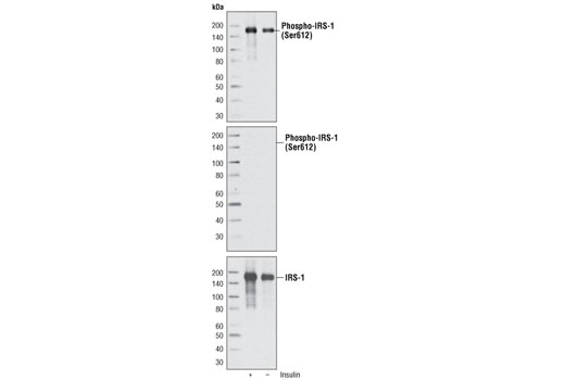 Monoclonal Antibody - Phospho-IRS-1 (Ser612) (C15H5) Rabbit mAb, UniProt ID P35568, Entrez ID 3667 #3203 - #3203